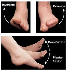 The Tibialis Anterior controls inversion and eversion of the foot, which can often be a source of knee pain in Brookvale